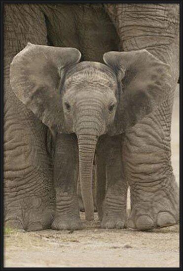 Elephant - Big Ears Poster