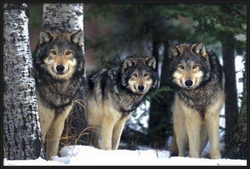 Wolves - 3 wolves Poster