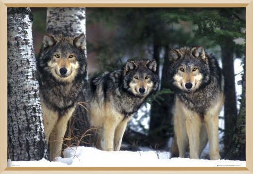 Wolves - 3 wolves Poster