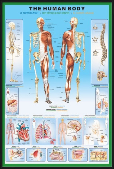 The human body Poster