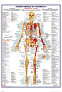 Human Body - Major Muscle Attachments Anterior