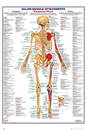 Human Body - Major Muscle Attachments Posterior