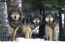 Wolves - 3 wolves