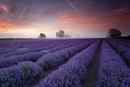 Lavender field - Dawn