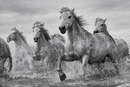 Horses - Camargue Horses