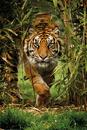 Tiger - Bamboo